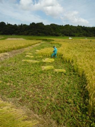 湿地は手刈り.jpg